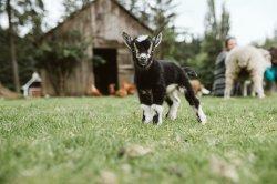 goats-3019